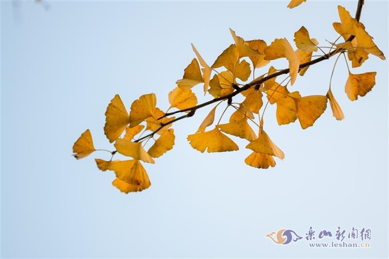 视频|【图说】天街银杏黄了 约上小伙伴们一起来打卡吧!